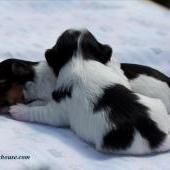 Колина, щенок бивера питомник MaxBiewer's House